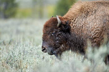 Wildlife Yellowstone<br>NIKON D4, Focale 300 mm, 560 ISO, Vitesse : 1/640 sec, Ouverture f : 8